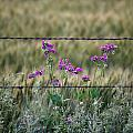 Fence And Flowers by Andrew Dyer Photography
