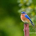Fence Post Bluebird by Steve Stuller