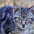 Feral Kitten by Chriss Pagani