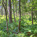 Fern Forest by David Troxel