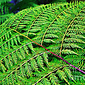 Fern Frond by Kaye Menner