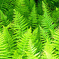 Ferns Galore Filtered by Duane McCullough