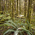 Ferns Sit On The Forest Floor by Taylor S. Kennedy