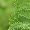 Ferns Take A Bow by Cheryl Butler
