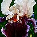 Festive Iris by Susan Herber