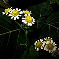 Feverfew In Bloom by Joyce Dickens