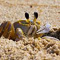 Fiddler Crab by David Hahn