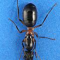 Field Ant by Raul Gonzalez Perez