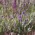 Field Of Bearded Iris by Stephanie Smith