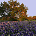 Field Of Blue by Susan Rovira