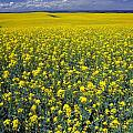 Field Of Canola by Don Hammond