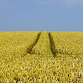 Field Of Corn by John Chatterley