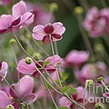 Field Of Japanese Anemones by Living Color Photography Lorraine Lynch