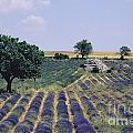 Field Of Lavender. Sault. Vaucluse by Bernard Jaubert