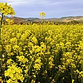 Field Of Mustard Flowers by Justin Smith