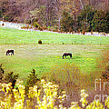 Field Of My Dreams Horses by Peggy Franz