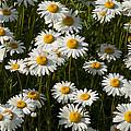 Field Of Oxeye Daisy Wildflowers by Kathy Clark