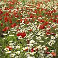 Field Of Poppies And Daisies In Limagne  Auvergne. France by Bernard Jaubert