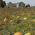 Field Of Pumpkins by Ted Kinsman