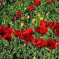 Field Of Red Poppies by Bruce Bley