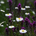Field Of Spring Flowers by Saija  Lehtonen