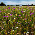 Field Of Thistles by Tamyra Ayles