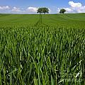 Field Of Wheat. Auvergne. France. Europe by Bernard Jaubert