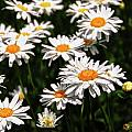 Field Of White Dasies by Peg Runyan