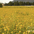 Field Of Yellow Daisy's by Donna Greene