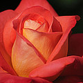 Fiery Color Rose by Diego Re