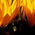 Fiery Sunflowers by Kume Bryant