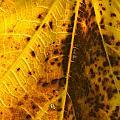 Fig Leaf by Perry Van Munster