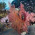 Fiji Sea Fan Scenic by Freund Gloria