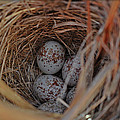 Finch Nest With Eggs  by Brittany Horton