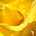 Fine Art Prints Yellow Rose Flower by Baslee Troutman