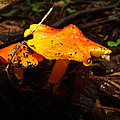 Fire In The Forest - Hygrocybe Cuspidata by Mother Nature