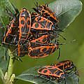 Firebugs Mating by Bob Gibbons