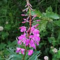 Fireweed by Doug Lloyd