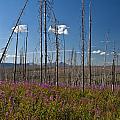 Fireweed  Epilobium Angustifolium Glacier National Park Usa -1 by Paul Cannon