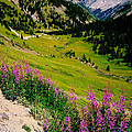 Fireweed In Henson Creek Drainage by FeVa  Fotos