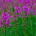 Fireweed by Tony Beck