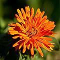 Firey Sunburst by Douglas Barnett