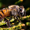 First Bee For The Summer by Ronel Broderick