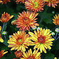 First Fall Mums by Sandi OReilly