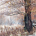 First Snow. Old Tree by Jenny Rainbow
