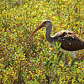 First Year White Ibis by Roena King