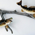 Fish Mount Set 03 A by Thomas Woolworth