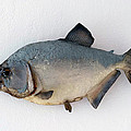 Fish Mount Set 04 A by Thomas Woolworth