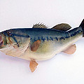 Fish Mount Set 09 A by Thomas Woolworth