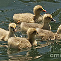 Five Baby Geese Swimming by Kenny Bosak